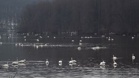 Tundra Swans on a small lake stock footage