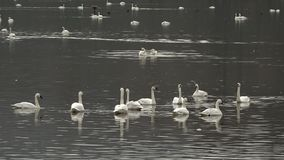 Tundra Swans on a small lake stock video footage