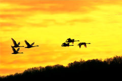 Tundra Swans at Sunrise Stock Photo
