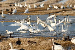 Tundra swans taking off from water Royalty Free Stock Photography