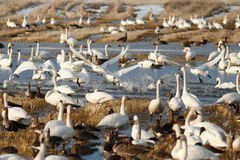 Tundra swans taking off from water Stock Image