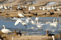 Tundra swans taking off from water Royalty Free Stock Photo