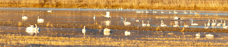 Tundra swans taking off from water Stock Photography