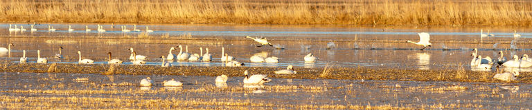 Tundra swans taking off from water Stock Photos