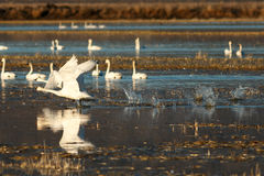 Tundra swans taking off from water Royalty Free Stock Photos