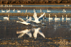 Tundra swans taking off from water Royalty Free Stock Image