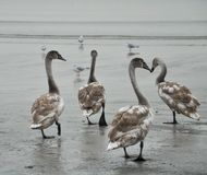 Tundra swans walk on the beach next to seagulls royalty free stock photos