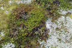 Tundra vegetation Royalty Free Stock Photo