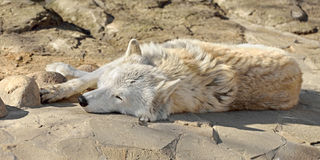 Tundra wolf Canis lupus albus, also known as Turukhan wolf Stock Photos