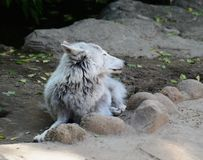 Tundra wolf in the Moscow zoo. stock photos