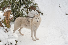 Tundra wolf on the snow Stock Photography