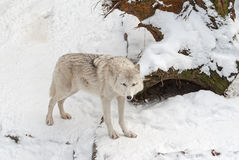 Tundra wolf on the snow Royalty Free Stock Photography