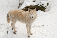 Tundra wolf on the snow Stock Images