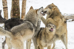 Tundra Wolves. A pack of Tundra Wolves in a snowy Forest hunting for prey Royalty Free Stock Images