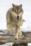 Tundra Wolves Royalty Free Stock Images