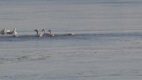 Tundraschwäne, die im seichten Wasser herumsuchen stock video footage
