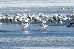 Tundrasvanar som landar på vatten Royaltyfri Fotografi