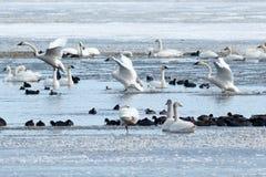 Tundrasvanar som landar på vatten Royaltyfria Bilder