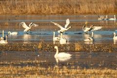 Tundrasvanar som landar på vattnet Arkivbild