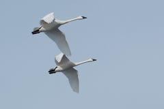 Tundrowego łabędź migracja Zdjęcie Royalty Free