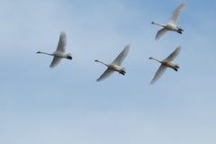 Tundrowego łabędź migracja Zdjęcia Royalty Free
