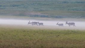 Tundrowi rogacze fotografujący w zwartej ranek mgle fotografia stock