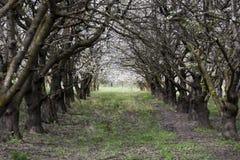 Tunel czereśniowych drzew kwitnąć Fotografia Royalty Free