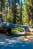 Tunelowy nazwy u?ytkownika sekwoi park narodowy Tunel 8 ft wysokich, 17 ft szerokich Kalifornia, Stany Zjednoczone obraz royalty free