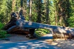 Tunelowy nazwy u?ytkownika sekwoi park narodowy Tunel 8 ft wysokich, 17 ft szerokich Kalifornia, Stany Zjednoczone fotografia stock