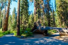 Tunelowy nazwy u?ytkownika sekwoi park narodowy Tunel 8 ft wysokich, 17 ft szerokich Kalifornia, Stany Zjednoczone fotografia royalty free