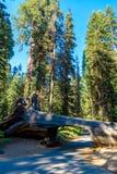 Tunelowy nazwy u?ytkownika sekwoi park narodowy Tunel 8 ft wysokich, 17 ft szerokich Kalifornia, Stany Zjednoczone zdjęcie stock