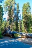 Tunelowy nazwy u?ytkownika sekwoi park narodowy Tunel 8 ft wysokich, 17 ft szerokich Kalifornia, Stany Zjednoczone zdjęcia royalty free