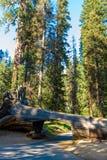 Tunelowy nazwy u?ytkownika sekwoi park narodowy Tunel 8 ft wysokich, 17 ft szerokich Kalifornia, Stany Zjednoczone zdjęcia stock