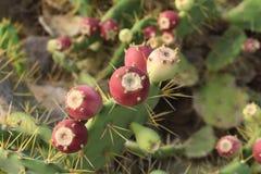 Tunera en Canarias, zitronengelbe Frucht stockfotos