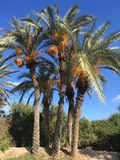 Tunezyjski drzewko palmowe na tła niebieskim niebie Fotografia Stock