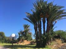 Tunezyjski drzewko palmowe na tła niebieskim niebie Fotografia Royalty Free