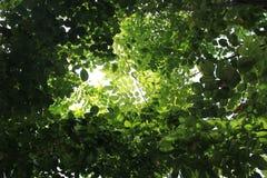 Tung-Blätter Stockfoto