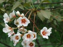 Tung Blossom Lizenzfreies Stockbild