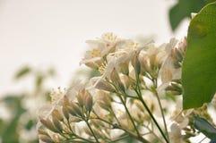 Tung Blossom Stockfoto