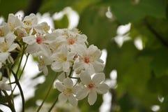 Tung Blossom Stockbilder
