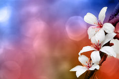 Tung blossom Royalty Free Stock Image