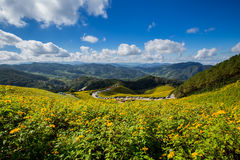 Tung Bua Tong Mexican sunflower field in Maehongson Royalty Free Stock Images