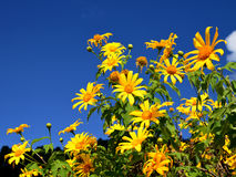 Tung Bua Tong (Mexican sunflower) in Maehongson. Province north Thailand Royalty Free Stock Image