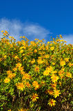 Tung Bua Tong Mexican sunflower in Thailand Stock Image