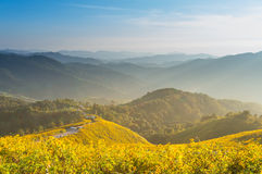Tung Bua Tong Mexican sunflower under blue sky in Maehongson, Th Stock Photos