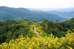 Tung Bua Tong Mexican sunflower under blue sky in Maehongson, Th. Ailand Stock Images