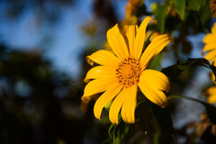 Tung Bua Tong Mexican sunflower under blue sky in Maehongson, Th. Ailand Stock Photo