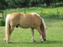 tung häst Royaltyfria Foton