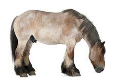 tung häst för belgisk brabancon Royaltyfri Fotografi