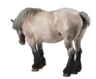 tung häst för belgisk brabancon Arkivfoto